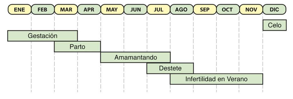 Ciclo de vida reproductivo de una Cochina de jabalí adulta