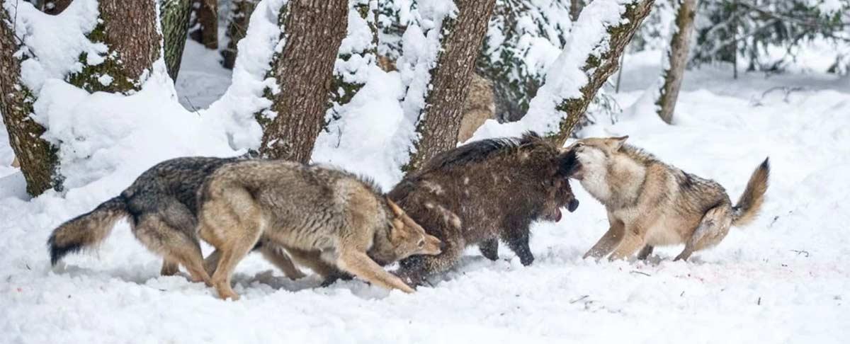 Lobos atacando a un Jabalí